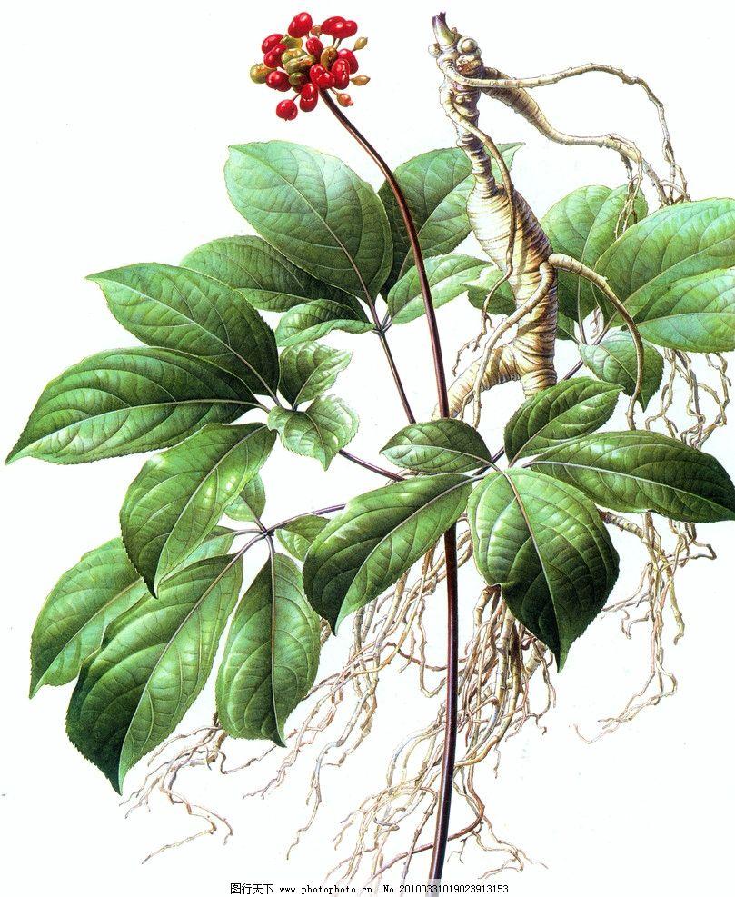 人参 高清扫描 工笔画 艺术画 扫描 植物 绘画书法 文化艺术 设计 72