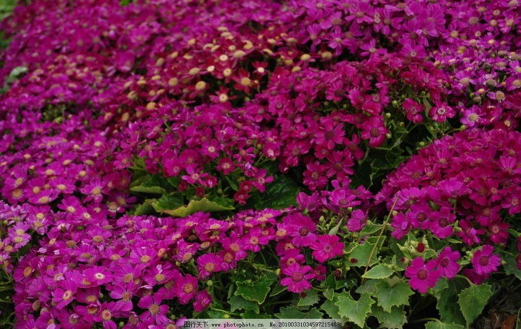 满天星 花 园艺 田园风光 自然景观 摄影 300dpi jpg
