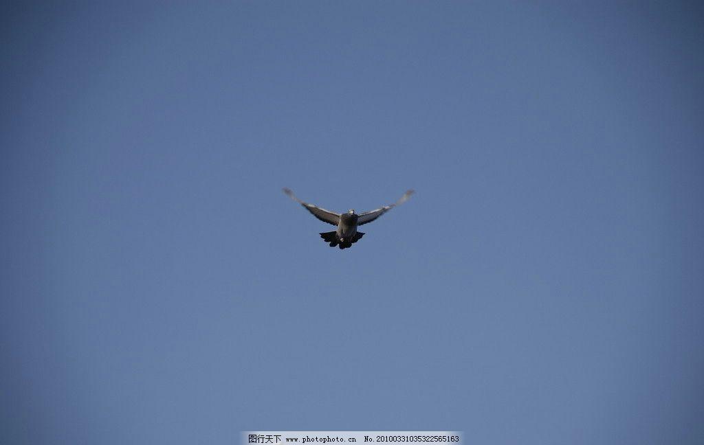 鸽子 飞翔 收翅 降落 鸟类 生物世界 摄影 300dpi jpg